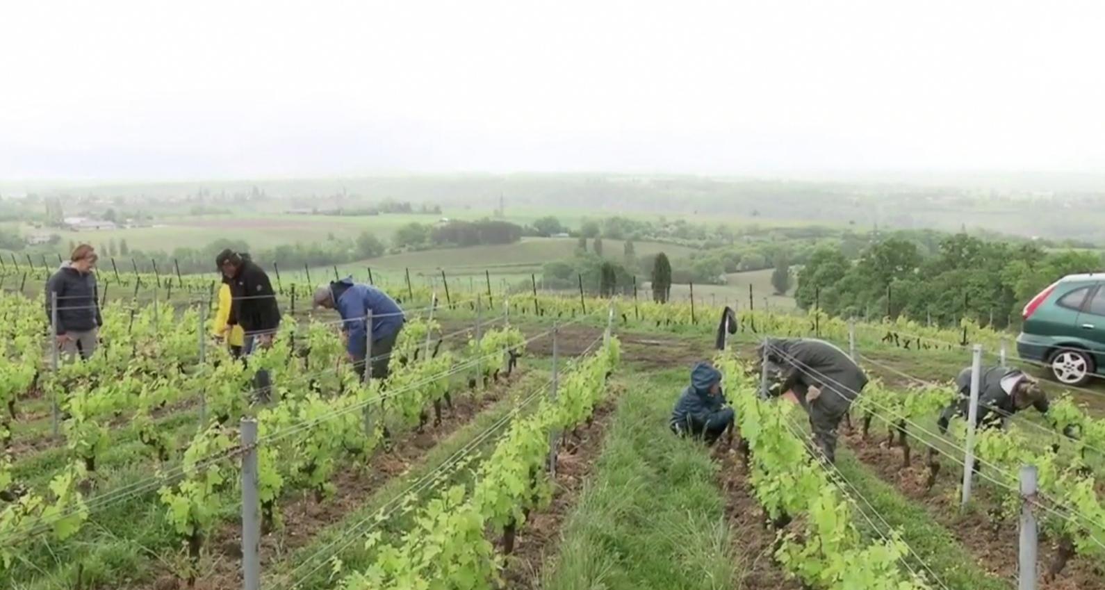 Trabalhadores sazonais numa vinha do cantão de Genebra